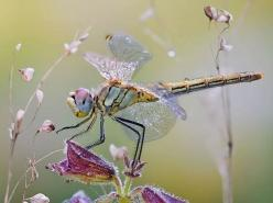 Dragonflies and Damselflies are Fairy Bugs. Isn't it fitting ... Dragons and Damsels?: Dragon Flies, Animals, Nature, Butterflies, Beautiful, Dragonfly, Photo, Dragonflies