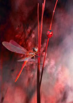 Dragonflies are beneficial to the garden. Their main food source is insects that can be damaging to plants and annoying to people, including mosquitoes and a variety of flies. You may be able to reduce commercial pesticides and mosquito repellents!: Red,