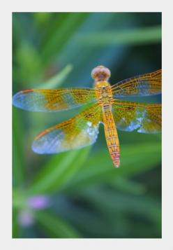 Dragonflies are divine! (via Full House): 3 Dragonflies, Dragonflies Damselflies, Butterflies Dragonflies, Butterflies Moths Dragonflies, Dragonflies Freedom, Beauty Dragonflies, Dragonfly, Hummingbirds Dragonflies, Animals Dragonflies