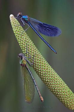 dragonflies by Igor Siwanowicz   ...........click here to find out more     http://googydog.com: Butterflies Dragonflies, Igor Siwanowicz, Dragonflies Butterflies, Libelulas Dragonfly, Gift Ideas, Diy Gift, Beautiful Things