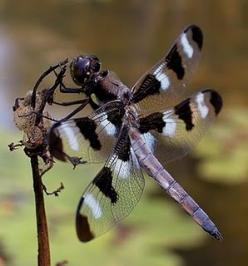 dragonflies   ...........click here to find out more     http://googydog.com: Butterflies Dragonflies, Dragon Flies, Dragonflies Butterflies, Black And White, Dragonfly S, White Dragonfly