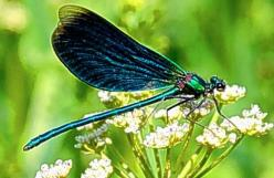 Dragonflies have a very short lifespan. They usually only live for about a month or less. However, some dragonflies can exist for up to half a year.: Animals, Butterflies, Bugs, Nature, Beautiful, Insects, Dragonfly, Dragonflies