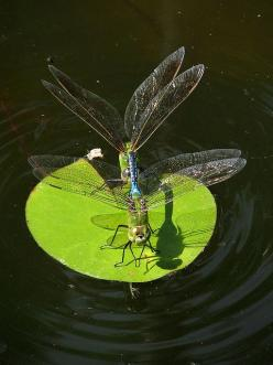 Dragonflies Mating: Dragon Flies, חרקים מרתקים, Dragonflies Mating, Photo