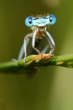 dragonfly: Animals, Bugs, Nature, Creatures, Blue Eyes, Dragonfly, Hilarious Damsfly, Insects, Dragonflies