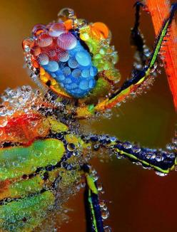 Dragonfly Covered In Morning Dew: Animals, Nature, Color, Dragonfly Covered, Dew, Insects, Photo, Dragonflies