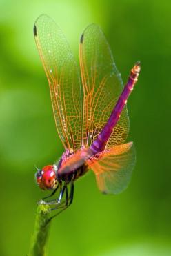 Dragonfly: Dragon Flies, Bugs, Color, Dragonfly, Red Head, Animal, Dragonflies