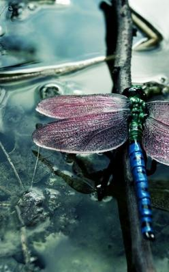dragonfly ...........: Dragon Flies, Nature, Color, Beautiful, Animal, Dragonflies