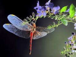 Dragonfly: Dragon Flies, Nature, Dragonfly, Photo, Flower, Dragonflies, Animal