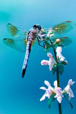 Dragonfly in Blue by aravis121, via Flickr: Blue Dragonfly, Butterflies Dragonflies, Dragon Flies, Butterfly, Dragonfly Dragonfly Dragonfly, Photo, Animals Dragonflies, Fly Dragon Fly, Dragonflies My
