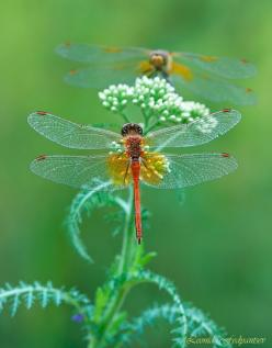 dragonfly Leonid Fedyantsev: Butterflies Dragonflies, Butterfly, Dragon Flies, Nature, Dragonfly S, Animal