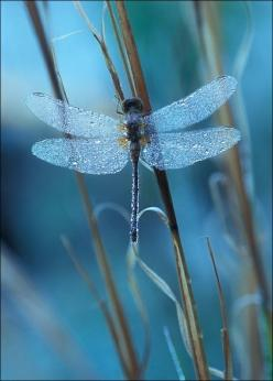 Dragonfly, my favorite insect!  they eat over 1,000 mosquitoes a day!: Dragon Flies, Animals, Nature, Blue, Beautiful, Dragonflies