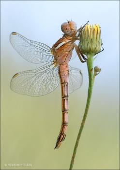 dragonfly on a dandelion bud: Flowers Dandelions, Dandelion Bud Wow, Butterflies Dragonflies Moths, Dragonfly S, Dandelion Bud How, Dragonfly Damselfly, Photo