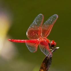 Dragonfly - Red Veined Dropwing ☮╰დ╮╭დ╯☮ ❥ Peace & ❥ℒℴνℯ❥☮Laughter ☮ And, Dr. Pepper, with a straw, please? ♫♫Memories...are made of this..♫♫: Dragonfly S, Flutterby, Dropwing Dragonfly, Dropwing Trithemis, Red Veined Dropwing, Photo, Dragonflies