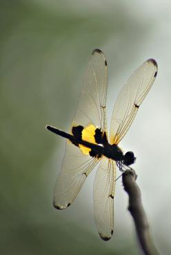 dragonfly_wings: Dragon Flies, 2Exz Dragonfly, Butterflies Dragonflies Moths, Insects Dragonfly, Dragonfly Wings 1, Dragonflies Damselfly, Dragonflies All, Dragonflies Lovliness