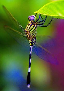 Dragonfly----You who in heart long for something better than this world can give, recognize this longing as the voice of God to your soul. Ask Him to give you repentance, to reveal Christ to you in His infinite love, in His perfect purity.---: Butterflies