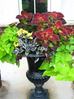 Dramatic focal point for a shady garden ~ Lovely urn container filled with sweet potato vine, yellow impatiens, red jew and burgundy coleus: Garden Container, Container Garden, Sweet Potato Vines, Shade Container, Red Jew, Yellow Impatiens, Shade Planter