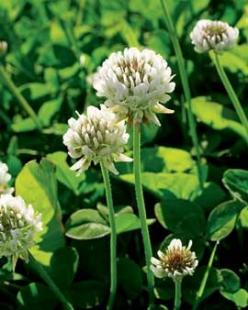 Dutch White Clover: • Great cover crop. It helps the soil rest  rejuvenate. Plant in pockets of bare soil or where you're waiting to plant something. When it's about 1 inch high, till into the soil for a quick nitrogen fix. ºSummer Mar - May: Clov