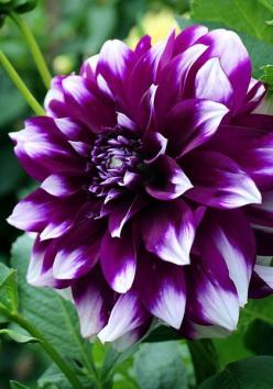 """Dwee doo"" is easy to grow and loaded with 4-6 inch flowers of royal purple tipped with white for an effect that's surprisingly elegant. Albert, the beloved ""people's king"" of Belgium, died in 1934, hence its decidedly antique name: ""Mourning for King Alb"