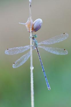 Early Morning Rendezvous, Siegfried Tremel: Snails, Photos, Morning Rendezvous, Dragon-Fly, Dragonfly, Dragonflies, Animal