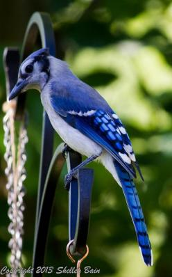 Eastern blue jay [Here in northern Michigan, the blue jays are permanment neighbors, living in our woods.  They make many different noises, including whilstles and an alarm call that warns all the other birds that danger is near.  They are beautiful as we