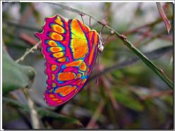 Eastwestfalian Fire Clipper. Wow, is this real? Gorgeous!: Beautiful Butterflies, Animals, Fire Clipper, Fireclipper, Color, Flutterby, Eastwestfalian Fire