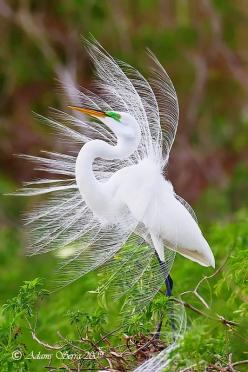 Egret is one of the most beautiful birds. I am so glad it is against the law to kill any type of egret now.  Their feathers at one time were used for hats.  They were almost wiped out until the law was passed.: Animals, Nature, Beauty, Beautiful Birds, Ph