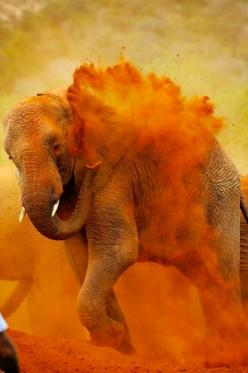 Elephant Dust Bath - India Such beautiful colours come from an instinct of the elephant to keep clean and mite free: Colour, Elephants, Orange, Dust Bath, Animals, Nature, Color, Holi Festival, Photography