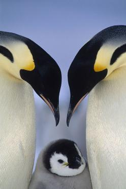 Emperor Penguins: Animal Pics, Animals, Penguin Lines, Adorable, Emperor Penguins
