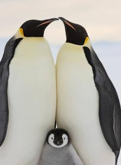 Emperor penguins share parenting responsibility. They mate for life and if their mate dies they will most likely never find another mate: Animals, Nature, Penguins, Families, Birds