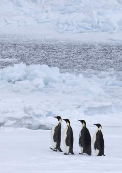 Emperor Penguins walk 75 miles (from open sea to breeding grounds), across frozen ice to find a mate and breed. They live on the ice in Antarctica.: Walk 75, Animallovers Animals, Penguin Animallovers, Penguin Baby Animals, Penguins Baby Animals, Emperor