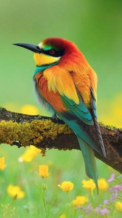European Bee-eater (Merops apiaster): Colorful Birds, Animals, Bees, Nature, Beautiful Birds, Ave