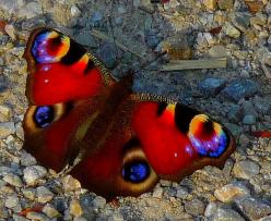 European peacock butterfly (Inachis Io), photo by Claude@Munich: Beautiful Butterflies, Peacocks, Flutter By, Butterfly Moth, Butterfly Photo