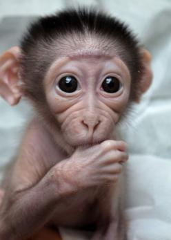 Every year I've asked for a baby monkey for my birthday...  One day...  Just one day I'll get one :P: Babies, Sweet, So Cute, Babymonkey, Adorable, Baby Monkeys, Baby Animals, Things, Eye
