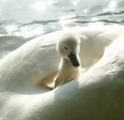 Everytime I see a picture of a white swan, my heart takes a leap. They are one of God's perfect creations. :-): Babies, Animals, Nature, Beautiful, Baby Swan, Birds, Photo
