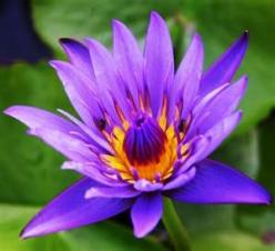 exotic flowers: Flower Pictures, Color, Lotus Flowers, Purple Flowers, Beautiful Flowers, Exotic Flowers, Tattoo, Garden, Water Lilies