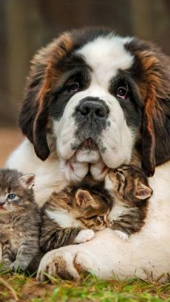 Faithful Kitten Sitter: Cats, Animals, Kitten, Dogs, Saintbernard, St Bernard, Pet, Saint Bernard, Friend