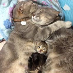 Family. I didn't even see the little guy in there.  Too much cuteness...can't handle.: Cats, Animals, Kitten, Sweet, Pet, Adorable, Families, Kitty
