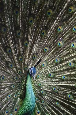 fantastic photo of a peacock by louise docker: Peacock Feathers, Beautiful Photo, Aunts, Animals Peacocks, Beautiful Feathers, Birds Peacocks, Beautiful Peacock