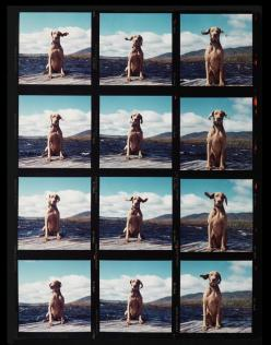 Fay on the Dock by William Wegman for 20x200—available starting at $120.00: Weimaraner, However, Dogs, William Wegman, Art, Products, Animal