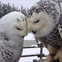 "* * FEMALE OWL: "" Will yoo stills love me evens whens me be old ands uglee? MALE: "" Of course me do, darling."": Animals, Nature, Beautiful, Snowy Owls, Snow Owls, Photo, Birds, Owl"