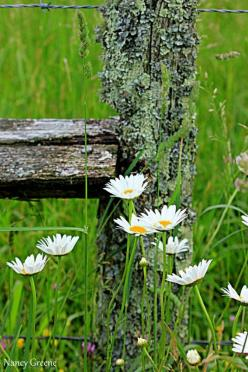 Fence Post cover with lichen, and white wild flowers: Country Living, Daisies, Fence Post, Country Life, Countrylife, Garden, Favorite Flower, Country Charm, Wild Flowers