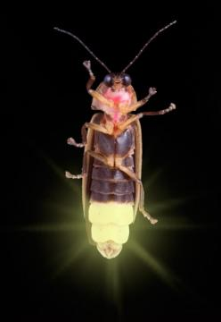 Fireflies aka lightening bugs ~ They disappeared for a quite awhile but now they are back in my Chicago neighborhood love watching them in our courtyard...: Fireflies, Animals, Nature, Beautiful Bugs, Lightening Bugs, Lighting Bug, Lightning Bugs, Insects