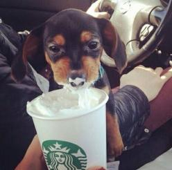 First foam. JUST FYI COFFEE IS TOXIC FOR DOGS...FOAM FROM MILK OR WHIP CREAM IS OK....REPORT ABUSE & NEGLECT!! PASS IT ON!!: Animals, Puppies, Dogs, Dachshund, Doxie, Coffee, Puppy, Adorable, Starbucks