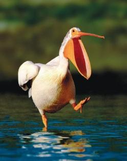 Fishing for a mouth full!: Big Mouths, Birdie, Funny, White Pelican, Beautiful Birds, Animals Birds, Mouth Full, Photo