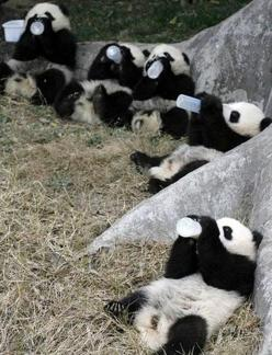 Five baby pandas drinking milk out of giant bottles. | 51 Animal Pictures You Need To See Before You Die: Baby Pandas, Babies, Pandas Drinking, Adorable, Baby Animals, Panda Bears