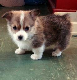 Five Cutest Dog Breeds: Corgis, Puppies Dogs, Corgi Puppies, Pet, Dogs Puppies, Puppys, Box, Animal