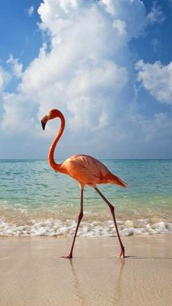 Flamingo walking along beach — Image by © Axiom Photographic/Destinations/Corbis~~Bayahibe, Dominican Republic: Beaches, Animals, Nature, Pink Flamingos, Beautiful, Photo, Birds