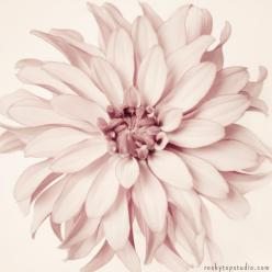 Floral Photography Print: Dahlia Flowers, Floral Photography, Art Flower, Art Prints, Fine Art, Dusty Pink, Flower Photography, Photography Fine