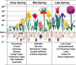Flower bulb planting tips - Spring Flowering Bulbs ~ The Time Is Now ~ Plant, Plant, Plant!: Green Thumb, Spring Bulbs, Bloom Time, Plants, Plant Bulbs, Bulb Flower
