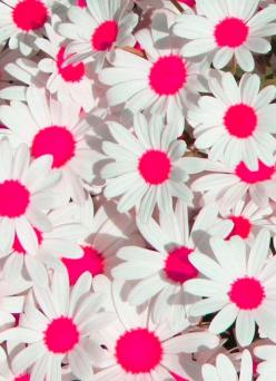 flower power to the max!: Backgrounds, Daisies, Wallpapers, Flower Power, Daisy, Things, Flowers, Garden